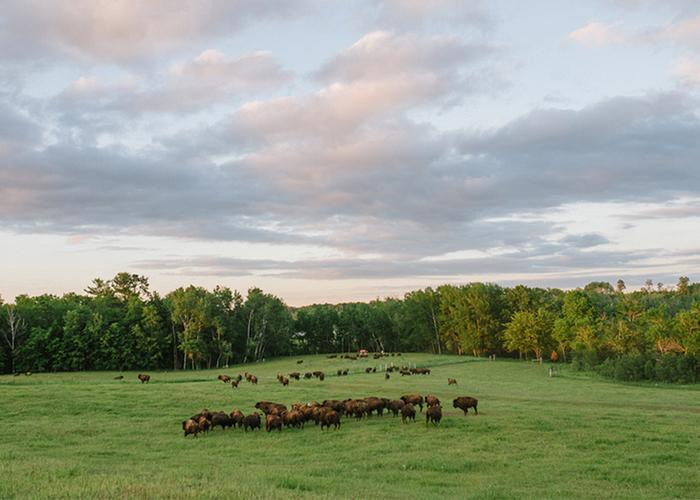 bison pastures